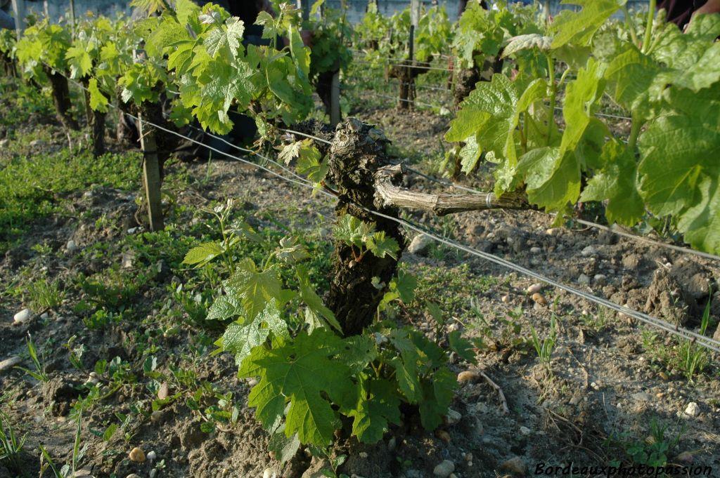 D 39 autres travaux dans la vigne for L arbre qui pousse le plus vite